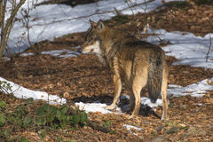 Eurasian Wolf Stock Photo