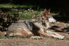 Eurasian wolf (Canis lupus lupus). Royalty Free Stock Photography