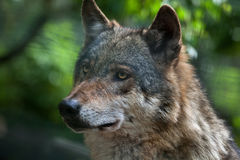 Eurasian wolf (Canis lupus lupus). Royalty Free Stock Photo