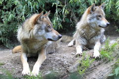 Eurasian wolf Royalty Free Stock Images