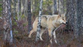 Eurasian wolf. Natural habitat.