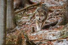 Eurasian wolf in nature habitat in bavarian forest Royalty Free Stock Photography