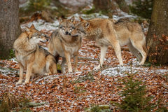 Eurasian wolf in nature habitat in bavarian forest Royalty Free Stock Photo