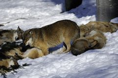 Eurasian wolf pack in snow Stock Photography