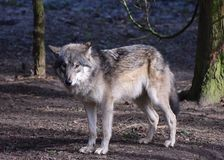Eurasian Wolf Portrait. Lupus Grey. stock photos