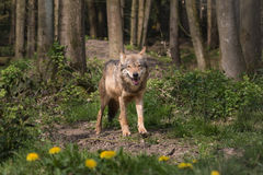 A Eurasian Wolf staring Royalty Free Stock Image
