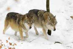 Eurasian wolf Stock Photography