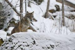 Eurasian wolf in white winter habitat, beautiful winter forest Royalty Free Stock Image