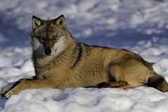 Eurasian wolf in winter Stock Photo