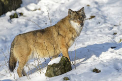 Eurasian wolf in winter forest Stock Photos