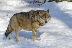 Eurasian wolf in winter forest Stock Image