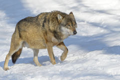 Eurasian wolf in winter forest Royalty Free Stock Image