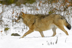 Eurasian wolf in winter forest Stock Photo