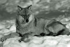 Eurasian wolf in winter snow Stock Images