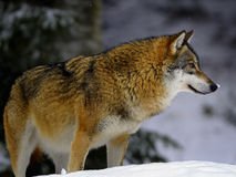 Eurasian wolf in winter snow Stock Photography