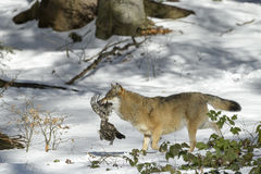 Eurasian wolf in winterforest Stock Photo