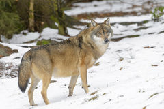 Eurasian wolf in winterforest Royalty Free Stock Images