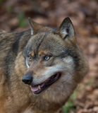 Eurasian wolf in the woods. The Eurasian wolf, also known as the common wolf or Middle Russian forest wolf, is a subspecies of grey wolf native to Europe and the Stock Image