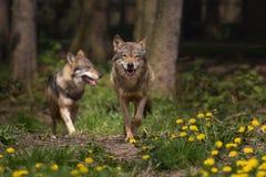 2 eurasian Wolfs появляясь от древесин Стоковые Фотографии RF