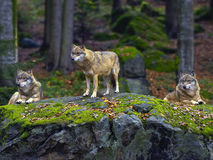 Eurasian wolves. Pack of Eurasian or European wolves in countryside with trees in background stock photography