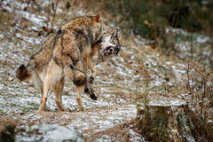 Eurasian wolves fight in nature habitat in bavarian forest. National park in eastern germany, european forest animals, canis lupus lupus royalty free stock photo