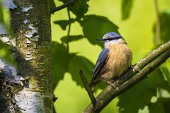 Eurasian or wood nuthatch bird Sitta europaea perched on a branch, foraging in a forest. Closeup of a Eurasian nuthatch or wood nuthatch bird Sitta europaea stock photography