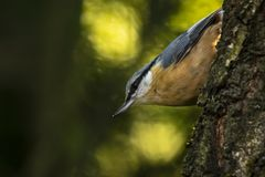 Eurasian or wood nuthatch bird Sitta europaea perched on a branch, foraging in a forest. Closeup of a Eurasian nuthatch or wood nuthatch bird Sitta europaea royalty free stock photos