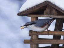 Eurasian or wood nuthatch, Sitta europaea, close-up portrait at bird feeder with peanut in beak, selective focus, shallow DOF.  stock images