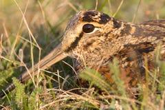 Eurasian Woodcock close-up Scolopax rusticola Royalty Free Stock Photos