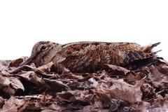 Eurasian Woodcock (Scolopax rusticola) among fallen leaves Royalty Free Stock Photos