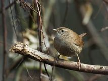 Eurasian Wren Royalty Free Stock Images