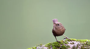 Eurasian Wren Stock Photography