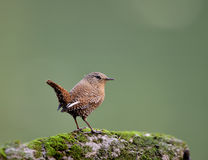 Eurasian Wren Royalty Free Stock Photos