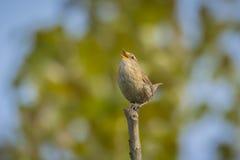 Eurasian Wren bird singing Royalty Free Stock Images