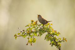 Eurasian Wren bird singing Royalty Free Stock Photo