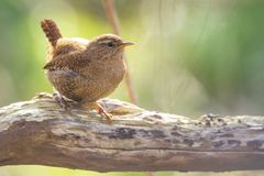 Eurasian Wren bird Troglodytes troglodytes display, singing an. Eurasian Wren Troglodytes troglodytes bird singing in a forest during breeding Springtime season Royalty Free Stock Photo