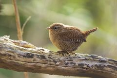 Eurasian Wren bird Troglodytes troglodytes display, singing an. Eurasian Wren Troglodytes troglodytes bird singing in a forest during breeding Springtime season Royalty Free Stock Image