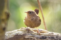 Eurasian Wren bird Troglodytes troglodytes display, singing an. Eurasian Wren Troglodytes troglodytes bird singing in a forest during breeding Springtime season Stock Photography