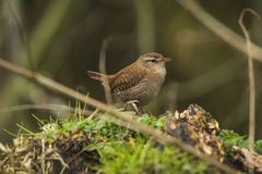 Eurasian Wren bird Troglodytes troglodytes display, singing and mating during Springtime season. Eurasian Wren Troglodytes troglodytes bird singing in a forest royalty free stock photography