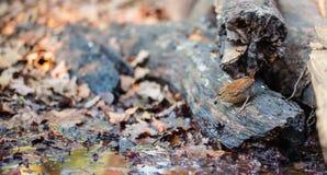 Eurasian Wren on forest ground stock photo
