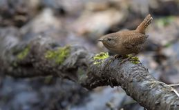 Eurasian wren hides in the roots near ground royalty free stock photo