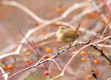 Eurasian wren sits on a bush with red and yellow berries. Close up and detailed shot Stock Photos