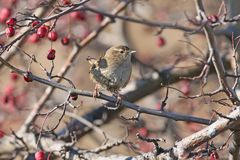 The Eurasian wren is sitting on a bush branch surrounded by red berries. On a blurred background Stock Photos