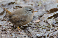 Eurasian Wren. A Eurasian Wren spotted in the forest royalty free stock photos
