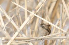 Eurasian Wren (Troglodytes troglodytes) Royalty Free Stock Photography