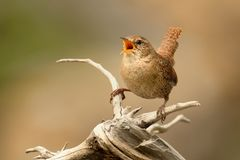 Eurasian Wren & x28;Troglodytes troglodytes& x29;. Singing on the branch royalty free stock photos