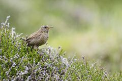 Eurasian Wren - Troglodytes troglodytes. Small brown perching bird from European meadows and grasslands, Shetlands, UK stock image