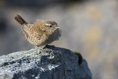 Eurasian Wren - Troglodytes troglodytes. Small brown perching bird from European meadows and grasslands, Shetlands, UK royalty free stock images