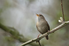 Eurasian Wren (Troglodytes troglodytes). Singing in a forest during breeding season Stock Image