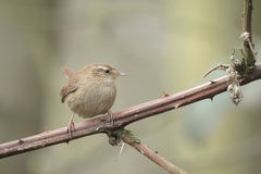 Eurasian Wren (Troglodytes troglodytes). Singing in a forest during breeding season Stock Photography